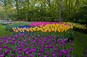 Фотографии Нидерланды Парки Тюльпаны Keukenhof