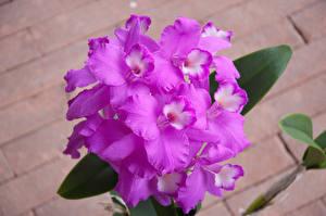 Фотографии Орхидеи Крупным планом Фиолетовых цветок