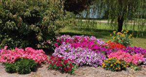 Картинка Парки Петунья Кусты Разноцветные