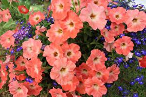 Фотография Петунья Крупным планом Цветы