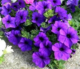 Картинки Петунья Крупным планом Фиолетовый Цветы