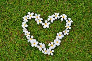 Фото Плюмерия Сердце Трава Цветы