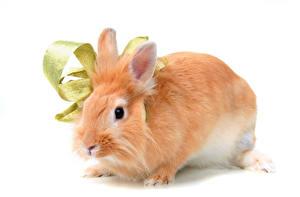 Фотографии Кролики Крупным планом Белый фон животное