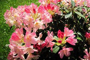 Обои Рододендрон Вблизи Цветы