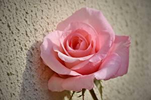 Фото Розы Вблизи Розовый