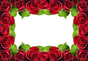 Картинка Розы Вблизи Шаблон поздравительной открытки Красный Цветы