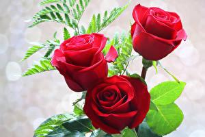 Фотография Роза Крупным планом Три Красный Цветы