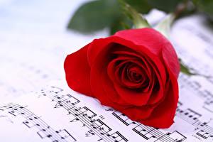 Фото Розы Ноты Крупным планом Красный Цветы