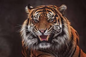 Фото Тигр Клыки Оскал Морда Взгляд Животные