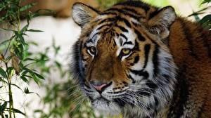 Обои Тигры Взгляд Морды животное