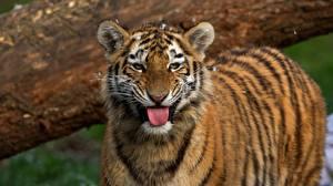 Фото Тигры Смотрит Язык (анатомия)