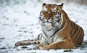 Картинка Тигры Снег Животные