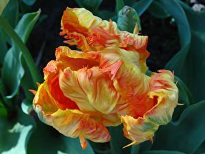 Фотография Тюльпаны Вблизи Цветы