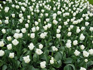 Фото Тюльпаны Много Белый Цветы