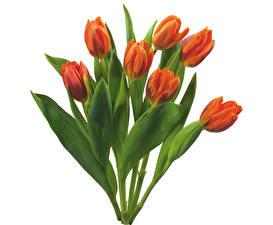 Картинки Тюльпаны Белый фон Цветы