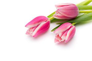 Картинки Тюльпан Белом фоне Трое 3 Розовые Цветы