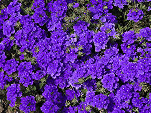 Картинка Вербена Много Фиолетовый Цветы