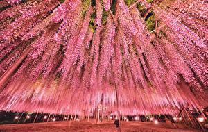 Обои Вистерия Япония Токио Парк Розовый