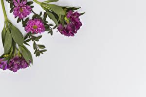 Фото Альстрёмерия Хризантемы Вблизи Серый фон Цветы