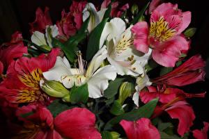 Картинка Альстрёмерия Вблизи Цветы
