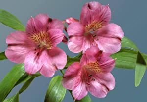 Фотографии Альстрёмерия Вблизи Втроем Розовый Цветы
