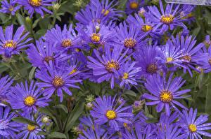 Фотографии Астры Крупным планом Фиолетовый Цветы