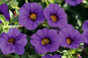 Фотографии Калибрахоа Вблизи Фиолетовый Цветы