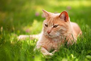 Картинки Кошки Взгляд Трава Рыжий Животные