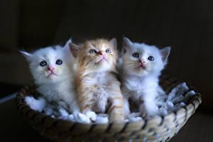Картинки Коты Котята Втроем Пушистый Животные