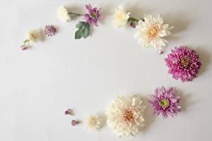 Обои Хризантемы Серый фон Цветы