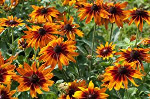 Картинки Крупным планом Оранжевый Rudbeckia Цветы