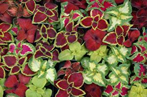 Обои Колеус Листья Разноцветные Цветы