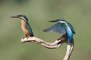 Обои Обыкновенный зимородок Птицы 2 Животные