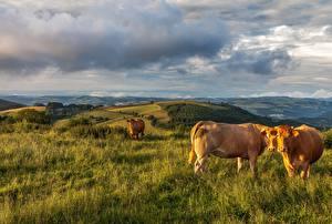 Картинки Корова Луга Трава Животные