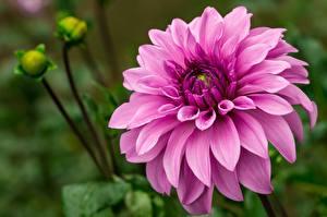Фотография Георгины Вблизи Розовые цветок
