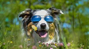 Фото Собаки Очки Забавные Австралийская овчарка Животные