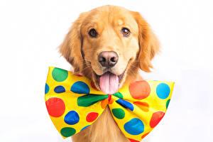 Фотографии Собаки Золотистый ретривер Белым фоном Бантик Взгляд Язык (анатомия) Животные