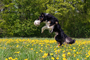 Обои Собаки Траве Бордер-колли Мяч Прыгает