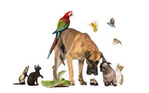 Картинка Собака Хомяки Еноты Змеи Кошки Птица Попугаи Белый фон Боксер