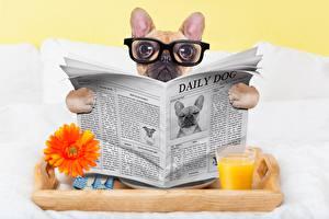 Обои Собаки Газета Взгляд Очки Бульдог Смешные