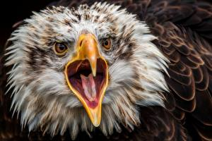 Фото Орлы Птицы Голова Клюв Язык (анатомия) Смотрит Животные