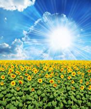 Фотографии Поля Подсолнухи Небо Солнце Облака Лучи света