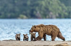 Фото Медведи Рыба Детеныши Гризли Животные