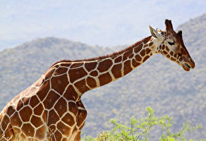 Фотография Жирафы