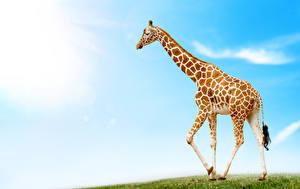 Фото Жираф животное