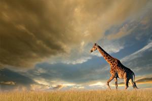 Фото Жирафы Небо