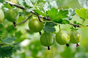 Картинки Крыжовник Вблизи Ветвь Зеленый Пища
