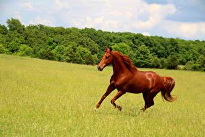 Фотографии Луга Лошадь Бежит Животные