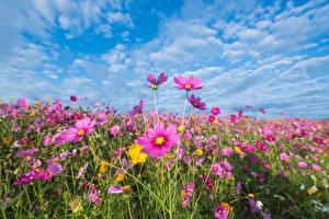 Картинка Луга Небо Космея цветок