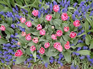 Фотографии Гиацинты Тюльпан Цветы